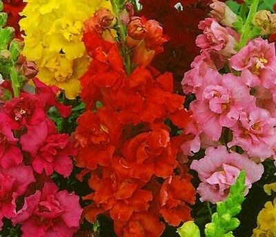 "Common snapdragon with trumpet-shaped flowers ""Trumpet - - 740 seeds"