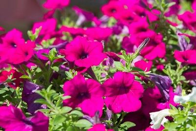 "Hanging petunia, Surfinia ""Rubina"" - scarlet-purple - 80 seeds"
