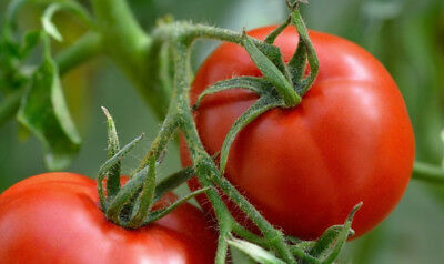 """Tomato """"Alka"""" - early, dwarf variety - SEED TAPE  - seeds"""