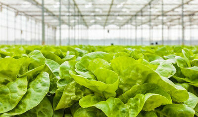 "Butterhead lettuce ""Justyna"" - early variety - SEED TAPE  - seeds"