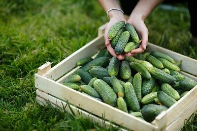"Cucumber ""Partner F1"" - for greenhouse, tunnel and field cultivation -  - seeds"