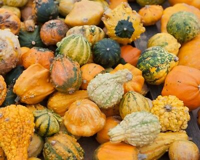Ornamental Squash mixed  - Cucurbita pepo - 36 seeds