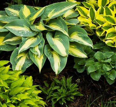 Hosta  - Hosta sp. - 18 seeds