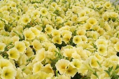 "Petunia ""Cascade"" - yellow - 160 seeds"