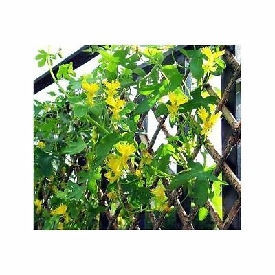 Canary Creeper, Canary Bird Vine  - Tropaeolum peregrinum - - 24 seeds