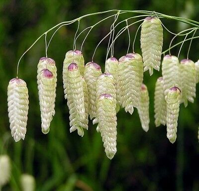 Greater Quaking Grass  - Briza maxima - 500 seeds