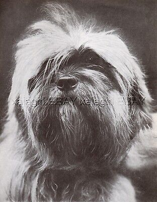 DOG Lhasa Apso (Named) Portrait, Vintage Print 1930s