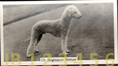 DOG Bedlington Terrier (Named Champion), Small Photo Trading Card 1938