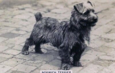 DOG Norfolk Terrier, Trading Card, Real Photo, 1930s