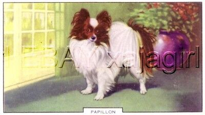 DOG Papillon, Colorful Trading Card, 1930s