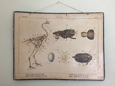 Antique French Anatomy Of Oiseaux The Coq And The Hen Poster Board Taxidermy