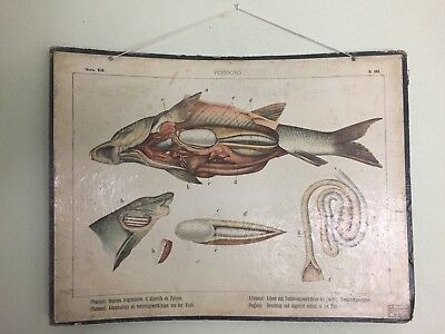 Antique French Anatomy Of Poissons Fish Poster Board from Brussels Taxidermy