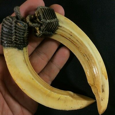 Real Solid 2 Wild Boar Pig Hog Teeth Pendant Thai Amulet Magic Canine Tooth