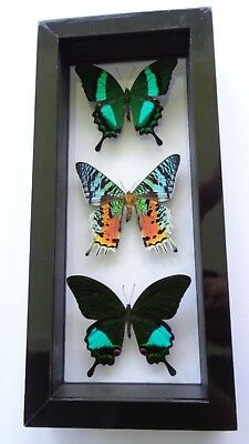 "3 Real Framed Butterflies Size 6X13""inches Double Glass Great Finish Amazing"