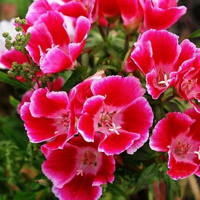 50 Satin Flower Seeds Stunning Blooms Beautify Homes A152