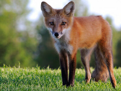 Photo, wallpaper digital picture free worldwide email delivery, Canadian red fox