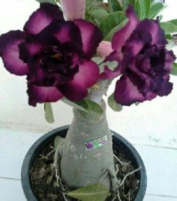 4 Rare Purple Black Desert Rose Seeds Adenium Obesum Flower Perennial Exotic