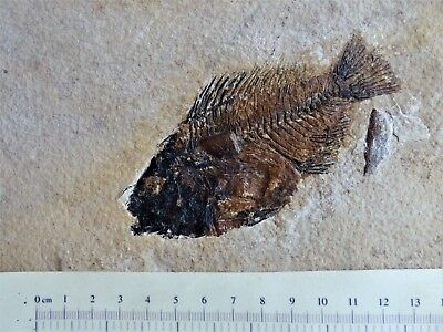 Fossil   Priscacara Fish   Eocene  48 MYO Green River Formation.