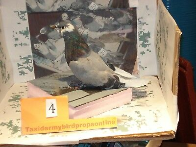 Taxidermy bird pigeon prop  4