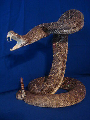 35  inch Freeze Dried Rattlesnake Mount