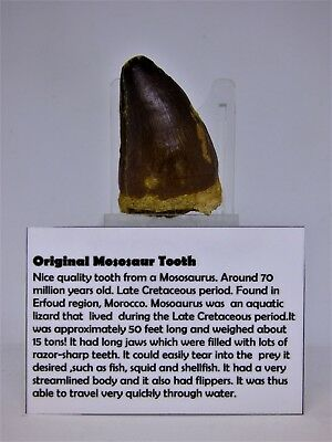Pick your own Fossil  Mososaur   Tooth 100 M.Y.O + display stand + info card