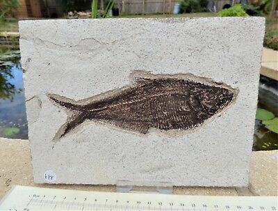 Knightia Fossil fish. 48 m.y.o. Green River formation + display stand