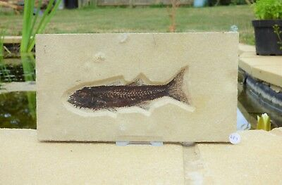 Mioplosus Fossil Fish in matrix  23 x 12.5 cm Eocene with stand