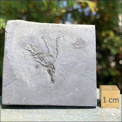 Gogia spiralis from Utah, USA - Middle Cambrian Period - FSR304