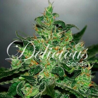 Delicious Seeds - Auto Critical Jack Herer 1 Pz. Delicious Seeds Dscjh1 25610147