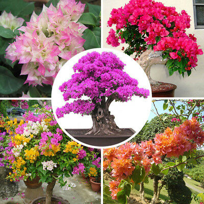 100x Bougainvillea Tree Seeds Mixed Color Perennial Bonsai Flowers Trees Potted