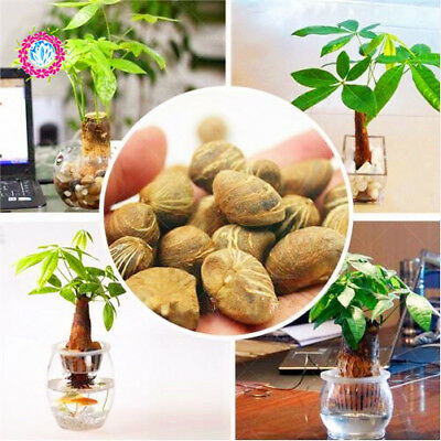 Pachira Macrocarpa Money Tree seed Mini Bonsai Tree Potted Indoor Plant For gift