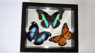 """3 Real Framed Butterflies Size 6.5""""x7.5""""inches Double Glass"""" Special Butterfly"""""""