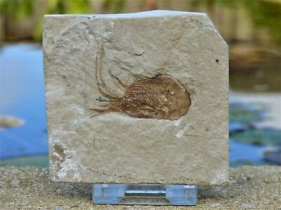 Fossil shrimp  Carpopenaeus Callirostris  95 m.y.o, Lebanon + display stand.