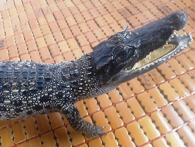 Decoration - Freshwater Crocodile - Real Stuffed Taxidermy 50 cm Long (HY69)