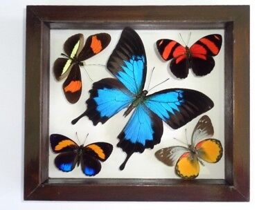 2 REAL FRAMED Butterfly Blue Morpho Didius & Monarch Mounted Double ...