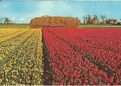 Postcard Collectible Holland Red Yellow Tulip Fields Great Condition Unposted