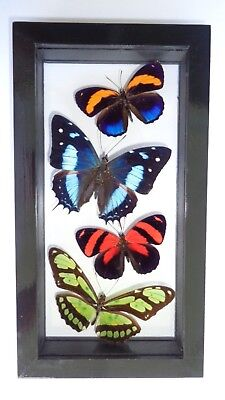 """4 Real Framed Butterflies Size 4.5""""x8.5""""inches Double Glass Great Finish Amazing"""