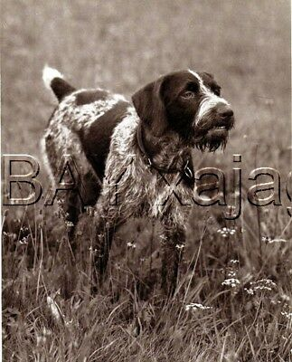 DOG German Wirehaired Pointer On Point Deutsch Drahthaar, Quality 1941 Print
