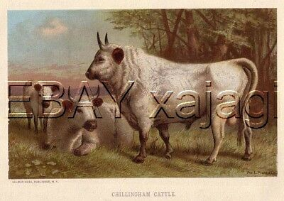 COW Chillingham Cattle Antique 1890s Chromolith Print
