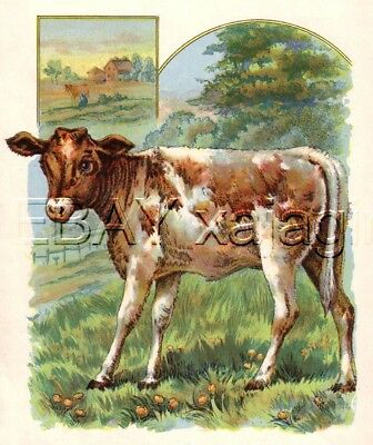 Cow Calf on Farm, Antique 100+ Yr Old Color Chromolith Print