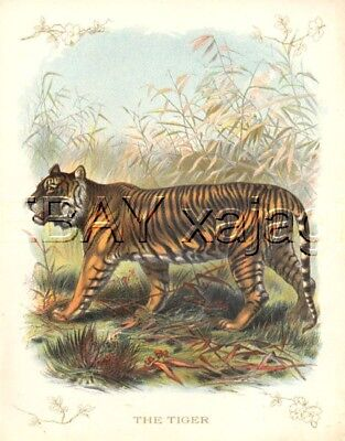 Tiger, Very Large Quality 100 Year Old Antique Print