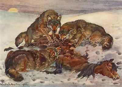 WOLF Pack Kills Wild Horse, Antique 1909 Print by Winifred Austen