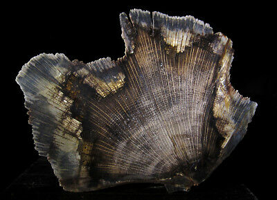 Deschutes Oak petrified fossil wood slab - excellent contrast