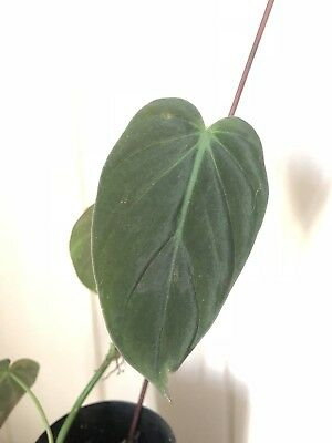 """Rare Philodendron Hederaceum """"Mican"""""""
