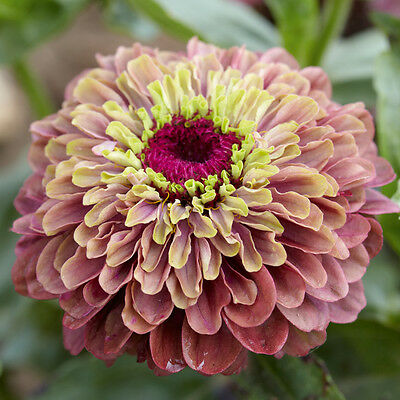 Victoria Rose Antique Zinnia organic flower seeds FREE 2 L@@K Closing down sale""