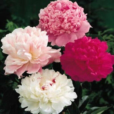 Peony poppy organic flower seeds mix  FREE 2 look Closing down sale !