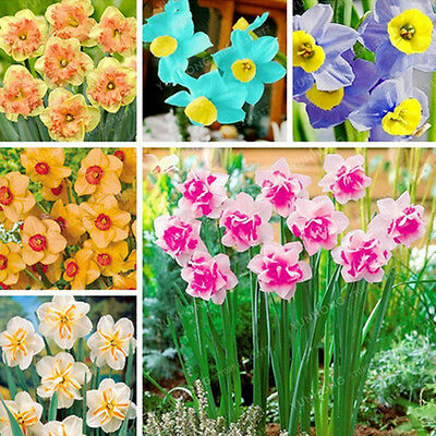 400x Narcissus Bulbs Seed Pastel Daffodil Plant Perennial Scented Flower Seeds