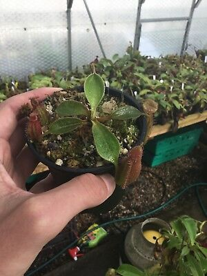 nepenthes robcantleyi x ampullaria BE-3767 very rare