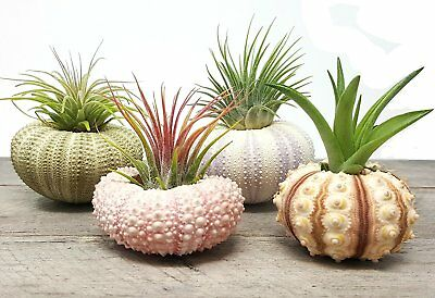 4 Pcs Sea Urchin Air Plant Lot / Kit Includes 4 Live Plants and 4 Sea Shells