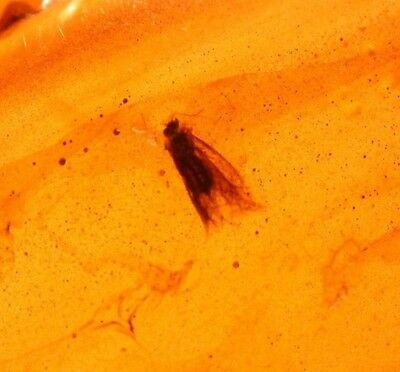 Cretaceous Moth in Burmite Burmese Amber Fossil from the Dinosaur Age